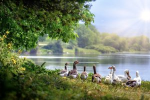 Lake with ducks