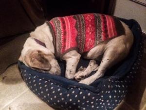 Dog sleeping in a sweater.