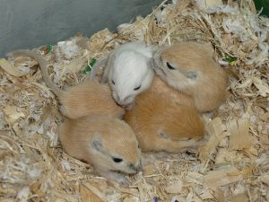 Gerbils sleeping in the cage is a way to help pets adapt to colder climate.