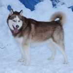 Help pets adapt to colder climate, such as a husky in the snow.