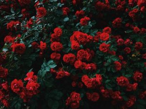 Bush of red roses.